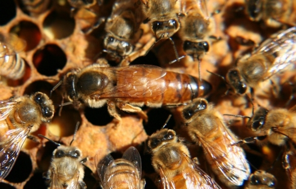 IMAM IS THE QUEEN BEE OF A SWARM